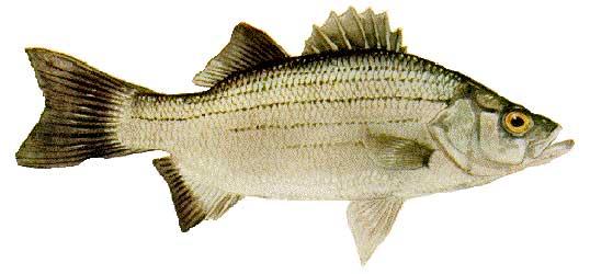 Types of freshwater fish in florida how to troll bait for Whiting fish florida