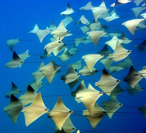 golden_cownose_rays